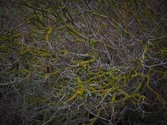 Xanthoria auf Syringa x meyeri (soenke.haas) Tags: berggarten hannover xanthoria flechte syringa flieder
