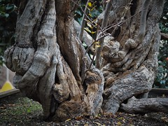Punica granatum (soenke.haas) Tags: berggarten hannover älteste kübelpflanze