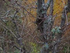 Flechten auf Prunus x kurilensis 'Brillant' (soenke.haas) Tags: berggarten hannover