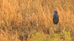 Little Blue Heron among the golden grass (El Burbo) Tags: heron bird grass sunrise ever florida