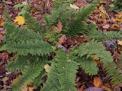 Polystichum setiferum 'Herrenhausen' (soenke.haas) Tags: berggarten hannover farn