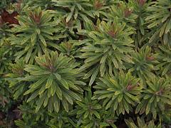 Euphorbia x martini 'Ascot Rainbow' (soenke.haas) Tags: berggarten hannover euphorbia wolfsmilch panaschiert
