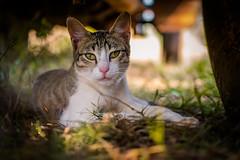 Resting under the car (Utkarsh.ptl) Tags: cat kitten animals animal nikon nikond3300 pet cats