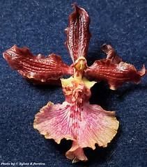 Oncidium Híbrido (Sylvio-Orquídeas) Tags: orquídeas orchids orchidée orchidaceae híbridos flores flowers hybrids garden macro oncidium