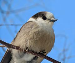 Camp Robber (Meryl Raddatz) Tags: bird grayjay jay nature naturephotography wildlife canada boreal