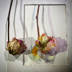 Day 1579.  The daily rose painting for today.   #art #バラ #rose #flower #水彩画 #stilllife #process #artclass #painting #sketching #watercolour  #dailyproject #watercolorclass #watercolourakolamble (akolamble) Tags: art バラ rose flower 水彩画 stilllife process artclass painting sketching watercolour dailyproject watercolorclass watercolourakolamble