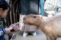 500_3236 (jinkemoole) Tags: kobedobutsuokoku zoo animal カピバラ capybara