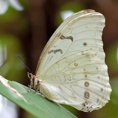 White morpho (Rene Mensen) Tags: morpho white butterfly macro micro rene mensen wildlands zoo glasshouse nature emmen