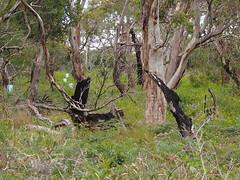 P1012922 1219 (sophbax22) Tags: phillip island victoria australia oswin roberts reserve