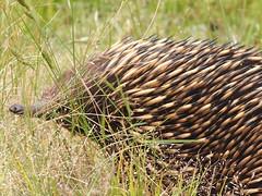 P1012919 1219 (sophbax22) Tags: phillip island victoria australia oswin roberts reserve echidna