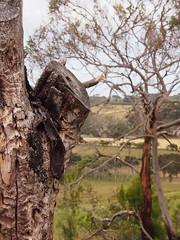 P1012905 1219 (sophbax22) Tags: phillip island victoria australia oswin roberts reserve