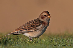 SNOW  BUNTING // PLECTROPHENAX NIVALIS (16cm) (tom webzell) Tags: naturethroughthelens