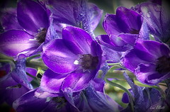 D E E E P    PURPLE (Lani Elliott) Tags: flower flowers delphinium purpleflowers nature naturephotography garden homegarden lanisflowers lanisgarden lanielliott bright light deeppurple colour colourful macro upclose closeup bokeh petals