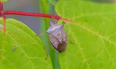 Brown Stink Bug (Kaptured by Kala) Tags: brownstinkbug stinkbug newspeciesforme pest bug insect cropdamage closeup adultstinkbug whiterocklake dallastexas reinhartbranch