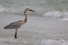 Wade In The Water (SDRPhoto321) Tags: heron fort desoto florida