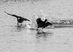 Coots monochrome (PDKImages) Tags: birds nature bird waterfowl waterbirds water flight wildlife rspb rspboldmoor