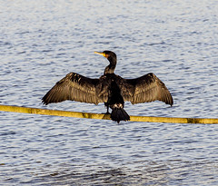 Cormorant (PDKImages) Tags: birds nature bird waterfowl waterbirds water flight wildlife rspb rspboldmoor