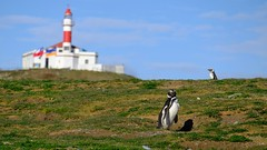 On show (halifaxlight) Tags: chile patagonia puntaarenas islamagdalenapenguincolony lighthouse wildlife birds magellanicpenguin penguins