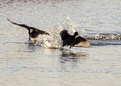 Coots (PDKImages) Tags: birds nature bird waterfowl waterbirds water flight wildlife rspb rspboldmoor
