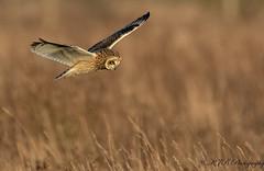 AD7A3438 (KJB Photography.) Tags: seo shortie short eared owl fenland wetland farmland fens nature wildlife flight hunting vole