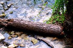 Presa en el Sella (cogozalez1) Tags: asturias españa naturaleza orientedeasturias spain sxxi 2019 agosto agua madera verde green ríosella rio riversella river