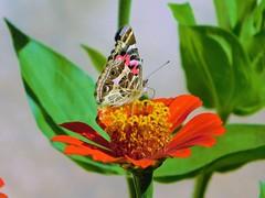Colores (Roberto Ianotti) Tags: mariposa color farfalle luz verde roja naranja