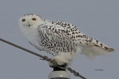 Snowy Owl (Bubo scandiacus) (stitchersue) Tags: owl snowyowl buboscandiacus perched utilitypole kawarthalakes ontario canada