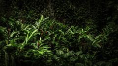 Kauai Fern Grotto (Christopher Rosenberger) Tags: hawaii kauai ferngrotto landscape sony a7riii