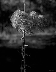 Wild Flower (surfcaster9) Tags: wildflower nature blackwhite lumixg7 lumix25mmf17asph outside florida forest outdoors lowkey