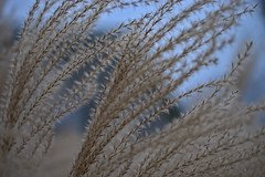 Chinese silver grass (Miscanthus sinensis) (Dubstepmeowski) Tags: grass nature michigan silver abstract soft nikon d5600 40mm