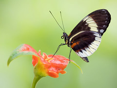 Heliconius Butterfly nectaring on Hot Lips flower, Wings of the Tropics, Fairchild Tropical Botanic Garden. (pedro lastra) Tags: panasonic leica 100400mm g9 micro 43 four thirds