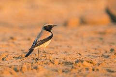 Desert Wheatear (Rajiv Lather) Tags: desertwheatear oenanthedeserti india indian birds birding wildlife nature outdoors outside photograph image pic photo aves avifauna