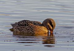 Female Gadwall 2 (PDKImages) Tags: birds nature bird waterfowl waterbirds water flight wildlife rspb rspboldmoor
