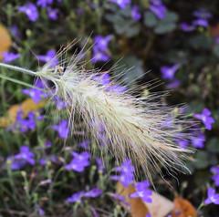 Ornamental grass (MJ Harbey) Tags: grass garden ornamentalgrass parcbotaniquedecornouaille france brittany nikon d3300 nikond3300