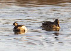 Little Grebe and Gadwalls (PDKImages) Tags: birds nature bird waterfowl waterbirds water flight wildlife rspb rspboldmoor