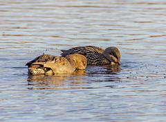 Two Gadwalls (PDKImages) Tags: birds nature bird waterfowl waterbirds water flight wildlife rspb rspboldmoor
