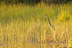 20190616D8E_3415FLR (cisco42) Tags: bc britishcolumbia canada blueheron bird grass freshwater lake greenlakeprovincialpark