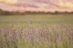 ESPLENDOR NATURAL (su-sa-ni-ta) Tags: nature insectos mariposas celdalimpiaa campo flores macro colores paisaje ield flowers butterfly insects cordoba argentina arbolito asuncion yallegalanavidad diciembre 2019