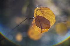 Herfst bokeh . (look to see) Tags: herfst fall autumn bokeh flare color kleur bokehlicious delaak beek bree belgium 2019 jupiter3 5cmf15 ussr