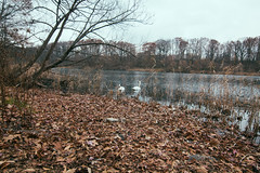 🍂 자연 🌳 (0sire) Tags: lake water autumn fall nyc swan bird park cloudy overcast oaklandlakepark queens newyorkcity