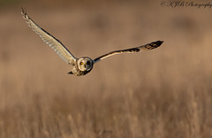 S.E.O(Head-On) (KJB Photography.) Tags: seo short eared owl flight fenland wetland farmland nature wildlife fens sun cold