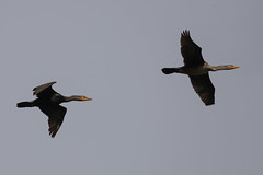 Pair Cormorants in flight (Daniel Hemingsen) Tags: birds cormorant flight