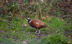 Sussex woodland Pheasant (Adam Swaine) Tags: rspb pheasant wildlife birds englishbirds britishbirds wild animals england english counties countryside uk ukcounties britain british woodland sussex adamswaine canon naturelovers nature naturewatcher 2019 autumn