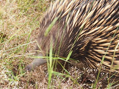 P1012920 1219 (sophbax22) Tags: phillip island victoria australia oswin roberts reserve echidna