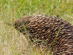 P1012918 1219 (sophbax22) Tags: phillip island victoria australia oswin roberts reserve echidna
