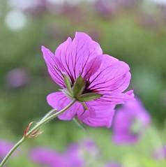 Geranium (MJ Harbey) Tags: geranium flower eudicot rosid geraniales geraniaceae sissinghirst cranbrook kent sissinghusrtcastlegardens nationaltrust nikon d3300 nikond3300