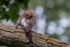 Northern flicker. (ricmcarthur) Tags: flicker colaptesauratus northernflicker rondeau ricmcarthur rickmcarthur rondearic