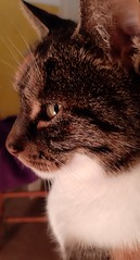"""""""A cat can purr its way out of anything."""" - Donna McCrohan (nedjeljko.belic) Tags: cat cats pets pet animals"""