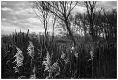 Zwin tegenlicht (marc.demeuleneire) Tags: bw nature grass trees nikon