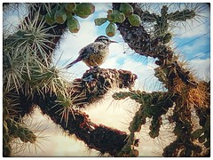 Cactus wren (PegPrice) Tags: tucson bird cactuswren
